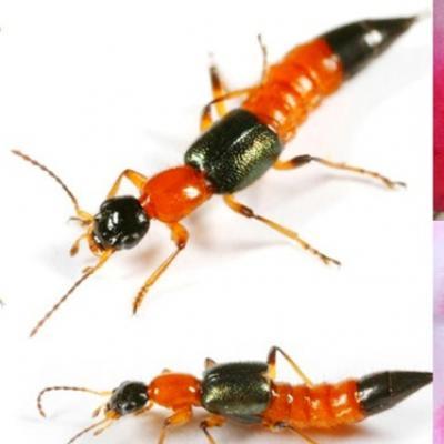 Nọc độc mạnh gấp 15 lần rắn hổ mang, chớ coi thường kiến ba khoang